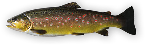 heinisch bachforellen fisch